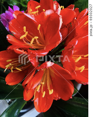 祖母の愛情をたっぷり受けた真っ赤な花 69302027
