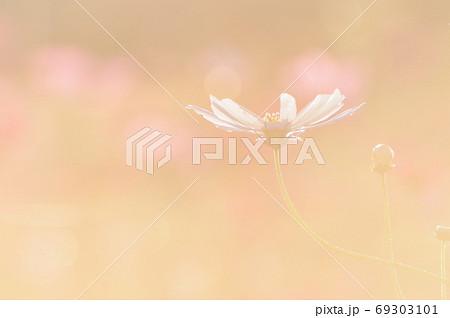 自然風景 光に浮かぶコスモスの花 69303101