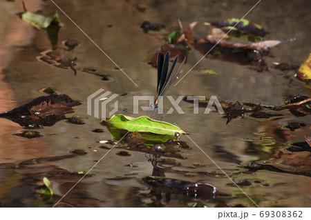 水面の葉っぱにとまるハグロトンボ(メス) 69308362