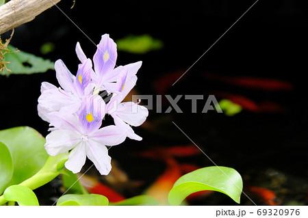 ビオトープに浮かぶホテイアオイの花 69320976