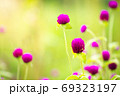 Purple flowers in green nature background are refreshing and morning sun. Globe Amaranth amidst the rich wildflower fields. The concept of nature and the beautiful ecosystem. Closeup and copy space. 69323197