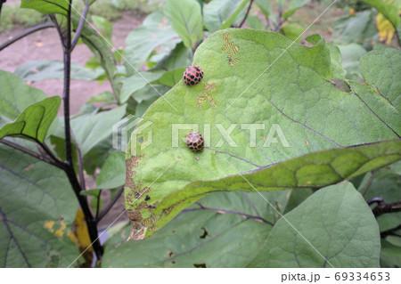 茄子の葉っぱを食べるテントウムシダマシ 69334653