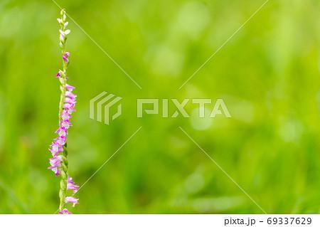 ひっそりと咲くねじねじの花ネジバナ 69337629