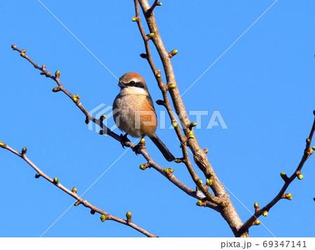 春先、イチョウの木にとまる野鳥モズ 69347141