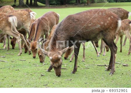 秋の鹿寄せに現れた泥浴びした雄ジカ(奈良公園・飛火野) 69352901