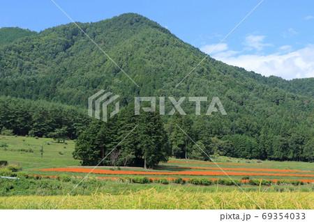 初秋の安曇野 キバナコスモス咲く里山 69354033