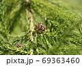 Japanese cedar 69363460