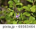 Crossberry flower 69363464