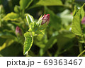 Rose Of Sharon 69363467