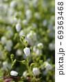 White St Dabeocs heath 69363468