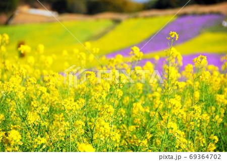 【兵庫県 淡路市】黄色いじゅうたんと紫のじゅうたん 69364702