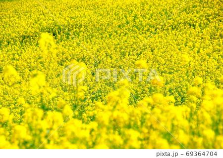 【兵庫県 淡路市】一面の菜の花畑 69364704