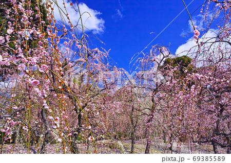 晴天の日本の春景色、紅白の梅の花が満開の梅林 69385589
