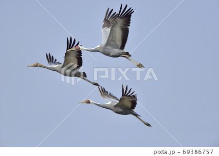 マナヅルの飛翔(鹿児島県・出水市) 69386757