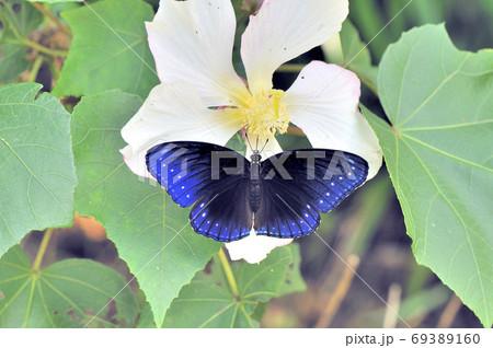 吸蜜するヤエヤマムラサキの雌(沖縄県・石垣島) 69389160