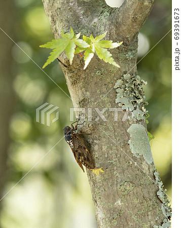 木にとまるアブラゼミ 69391673