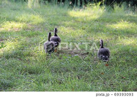 三匹のカルガモが陸上で歩いている可愛らしい後ろ姿 69393093