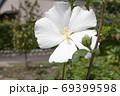 ムクゲの花からこぼれる花粉 69399598