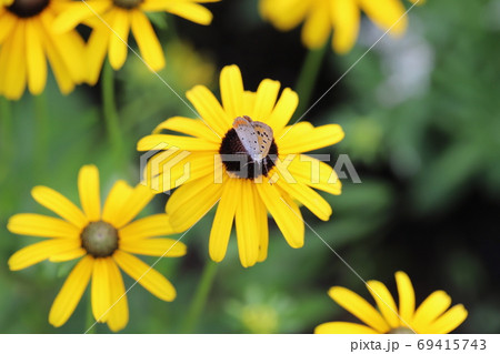 ルドベキアの黄色い花に止まるベニシジミ 69415743