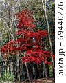 船橋県民の森、雑木林の中の一本のもみじ 69440276