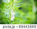 The white flower of sesame on a tree in blur background and morning sunlight at the plantation. Closeup and copy space on the right. The concept of agricultural products of farmers. 69443669