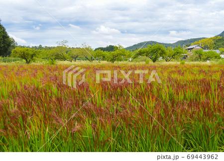 赤米の稲穂の上を 雨雲が通っていく秋の古代米の田 69443962