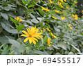 キクイモの花 69455517