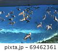 戯れるペンギン 69462361