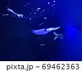 水中のイカ 69462363