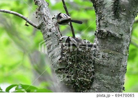 春の新緑の森、子育てをするシマエナガ(Long-tailed Tit) 69470065