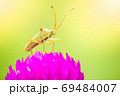A small green insect on purple flowers blooming in a refreshing morning. The Stink bug is pollinating flowers in the forest. The concept of nature and the beautiful ecosystem. Close up and copy space. 69484007