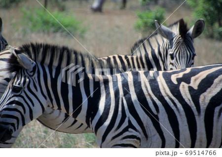 南アフリカ共和国クルーガー国立公園のシマウマ 69514766
