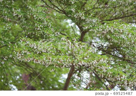 ツツジ科の落葉低木ドウダンツツジ 69525487