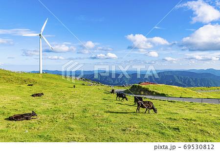 初夏の四国カルストと放牧飼育される牛 69530812