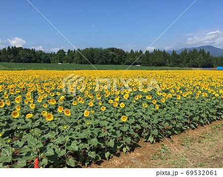 太陽の恵みを浴びる元気いっぱいのひまわり畑 69532061