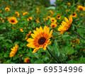 ひまわり畑 69534996