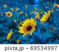 青のひまわり畑 69534997
