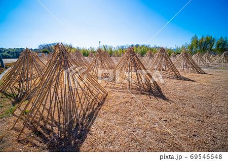 竹の寒干し 69546648