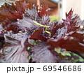 赤紫蘇の葉にカマキリ 69546686