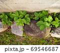 石の影で生きるワイルドストロベリー 69546687