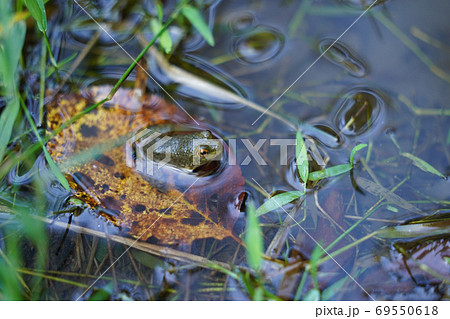 水面に顔をだすカエル 69550618