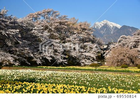 山梨甲斐駒ヶ岳の雪とサクラの寺院 69550814