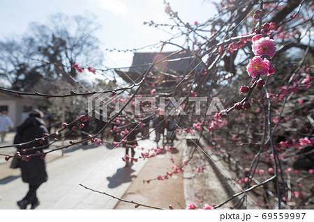 北野天満宮、初詣の境内参道に咲く満開の紅梅 69559997