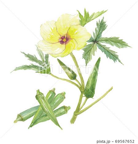 オクラ 花と実 69567652