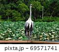 公園の池の柵に留まるアオサギ 69571741