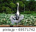 公園の池の柵で日光浴するアオサギ 69571742