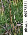 松の木のたくさんの新芽を春に撮影した写真 69572824