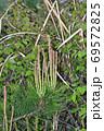 松の木の新芽を春にアップで撮影した写真 69572825