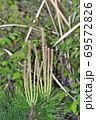 松の木の新芽を春にアップで撮影した写真 69572826