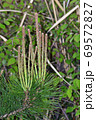 松の木の新芽を春にアップで撮影した写真 69572827